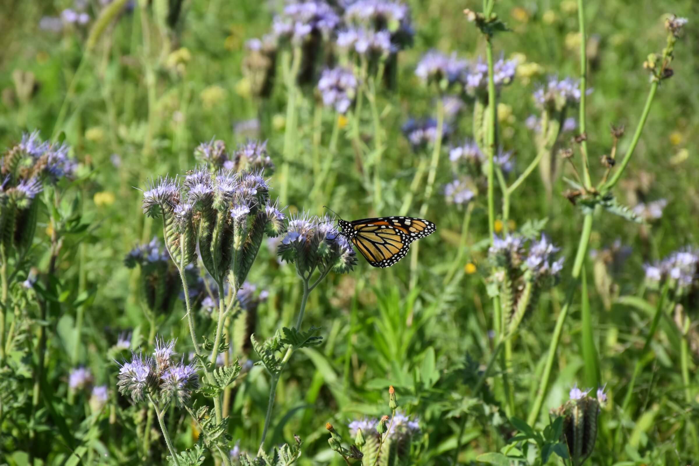 Strip of pollinator-friendly flowering plants, including Phacelia, planted at the edge of a farm field as part of the Operation Pollinator program