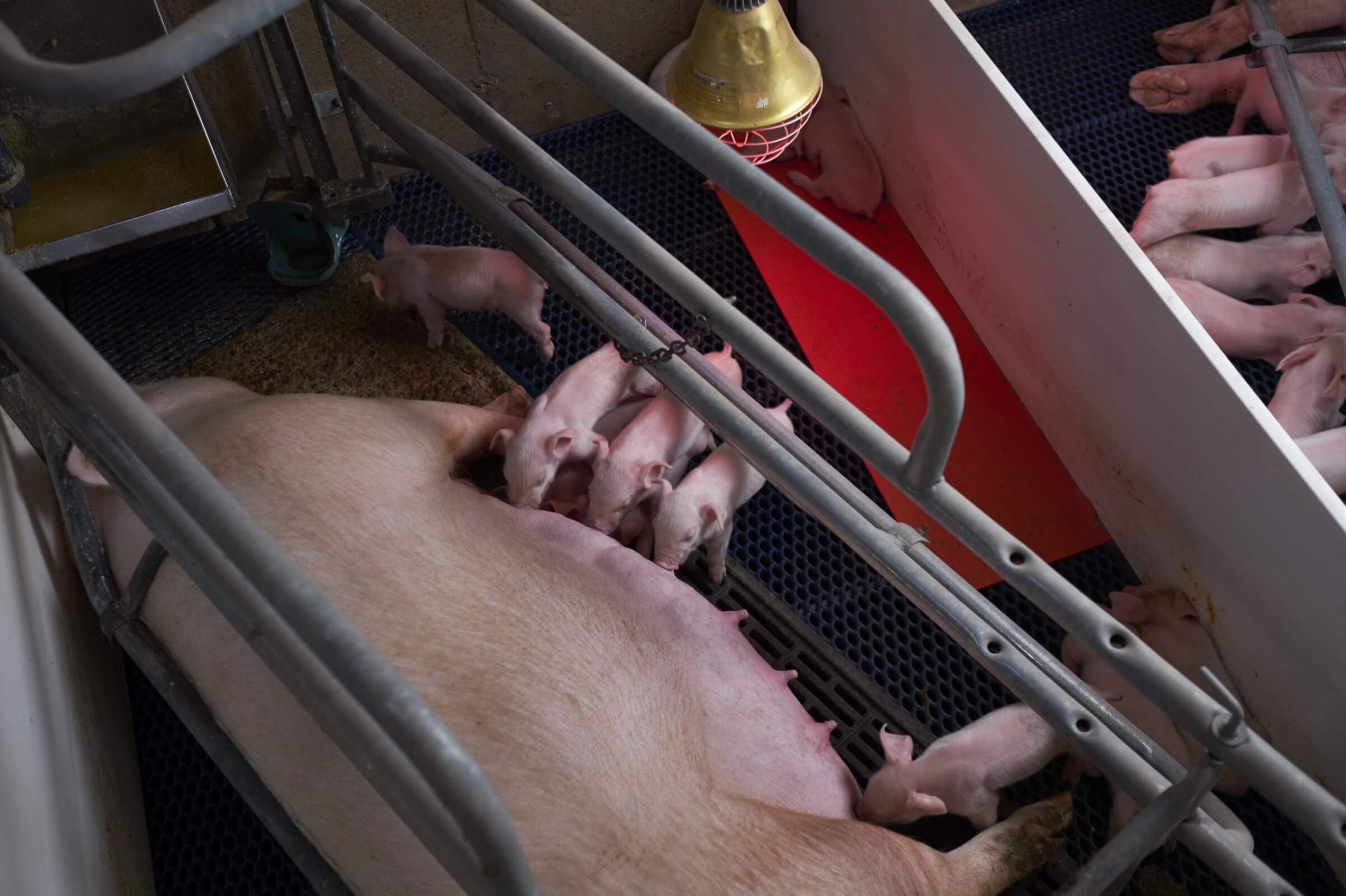 Farrowing crates are used to protect piglets and the sow
