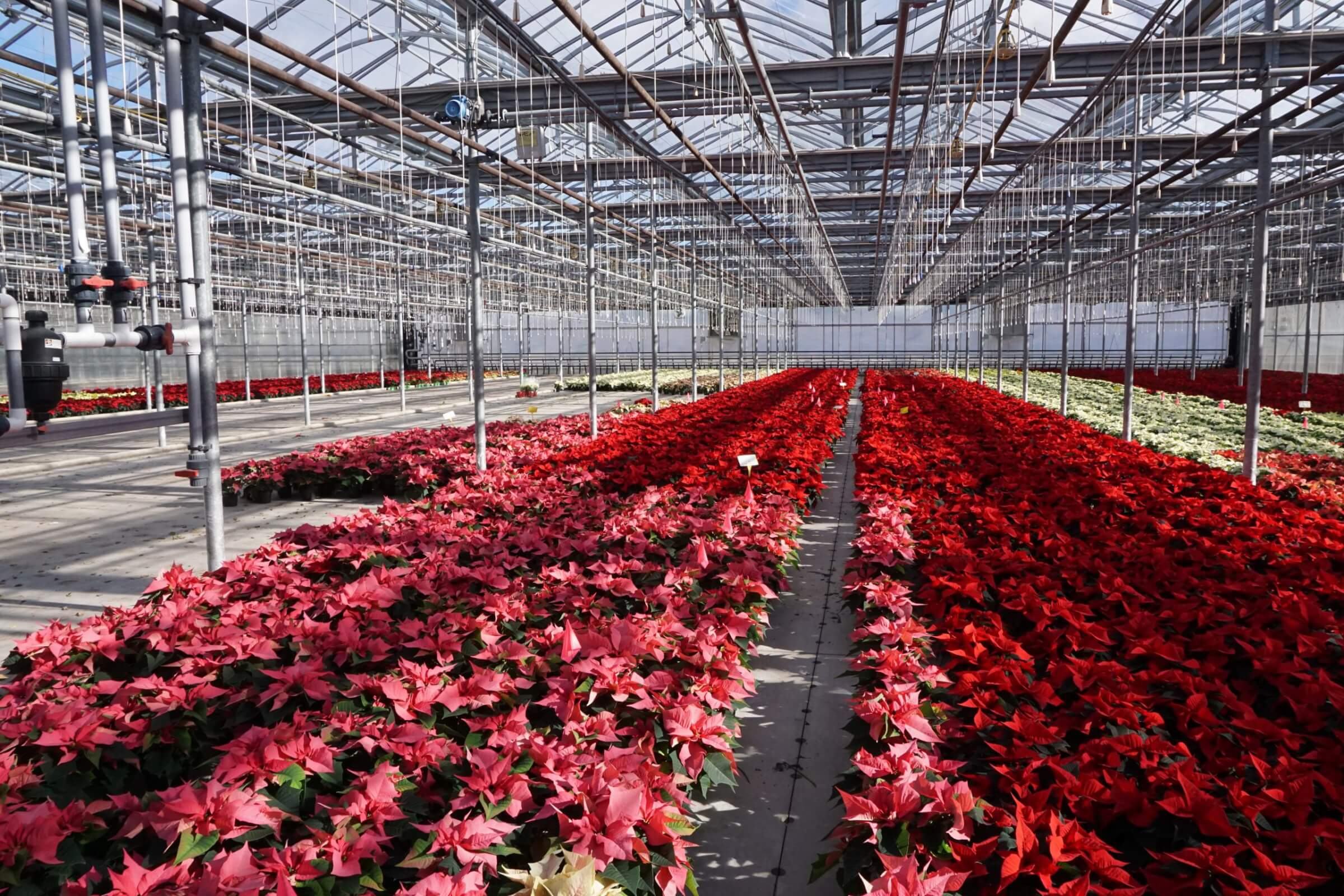 Poinsettias growing in a greenhouse